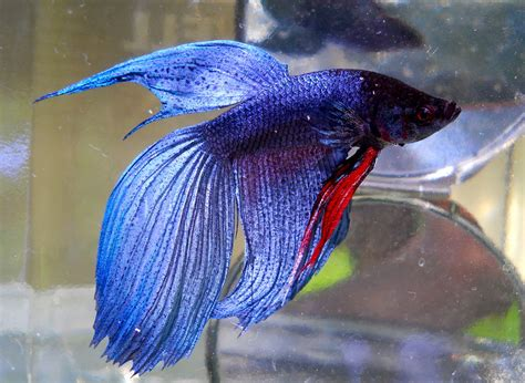 bubbles bettas tail types and patterns