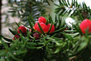 pflanze als sichtschutz 861 immergr 252 ne pflanzen die 6 beliebtesten f 252 r ihren garten