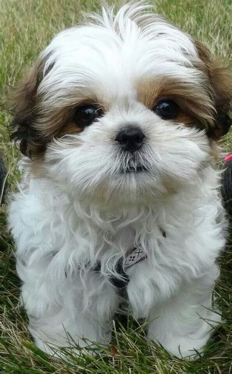maltese shih tzu photos 25 best ideas about shih tzu on baby shih tzu shih tzu and shih tzu