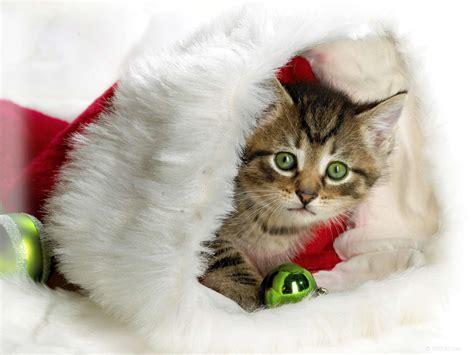 images of christmas cats christmas cat teddybear64 photo 27771003 fanpop