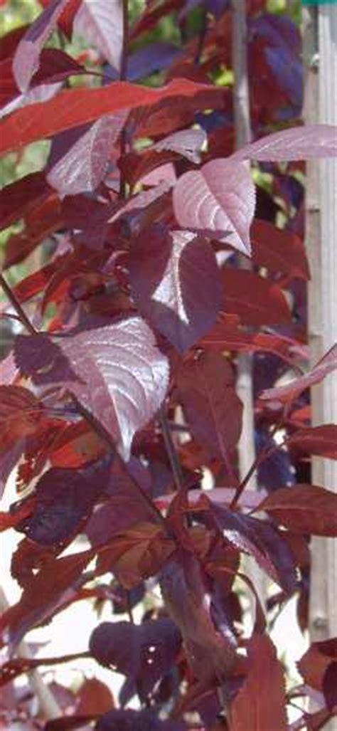 purple cherry plum prunus cerasifera var atropurpurea