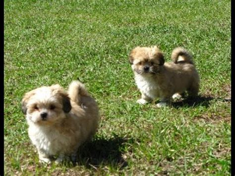 teacup yorkies for sale in greensboro nc lhasa apso puppies dogs for sale in newark new jersey nj 19breeders paterson