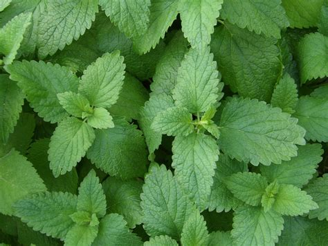 pucker up for these 3 lemon scented herbs san francisco