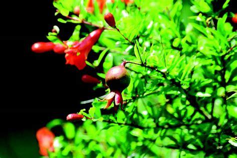 melograno coltivazione in vaso come coltivare il melograno da fiore
