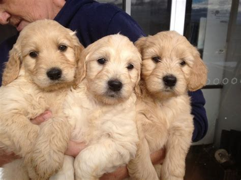 golden retriever puppies for sale in wales groodle goldendoodle puppies golden retriever x poodle