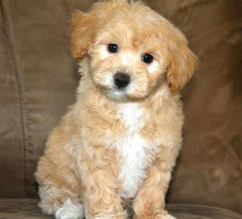 apricot maltipoo puppies for sale apricot maltipoo puppy of maltipoos we already matched up to some amazing