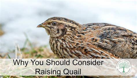 raising quail in your backyard why you should raise quail