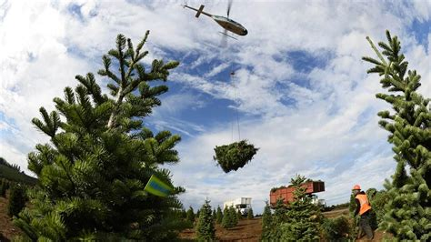 a noble or douglas fir 7ft led tree helicopter harvest spreads cheer aopa