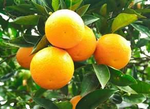 fruit on tree does all fruit grow on trees wonderopolis
