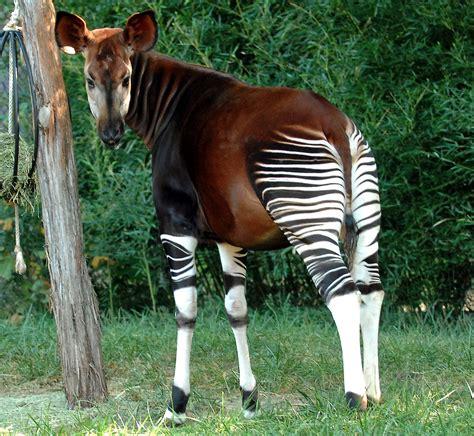 okapi animals images