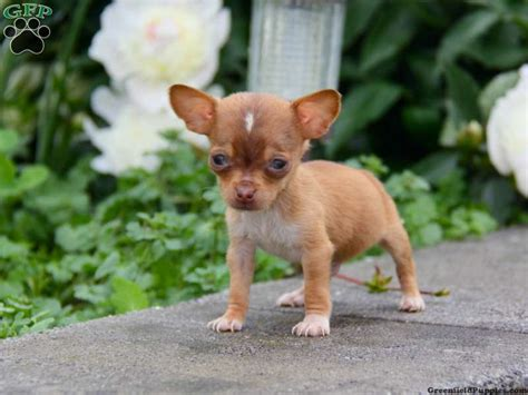 weenie dogs for sale chiweenie puppies for sale chiweenie breed info greenfield puppies