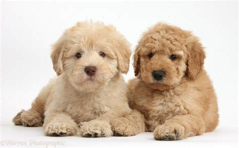 goldendoodle puppy toys goldendoodle www imgkid the image kid has it