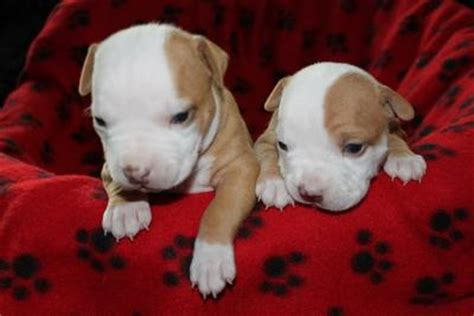 free pitbull puppies in pa pets chester pa free classified ads