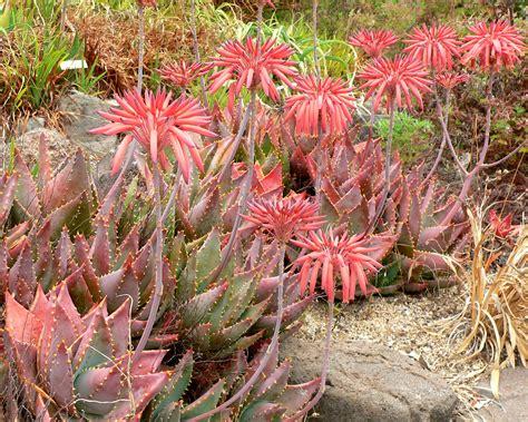 Aloe Humilis Entretien by Aloe Perfoliata вікіпедія