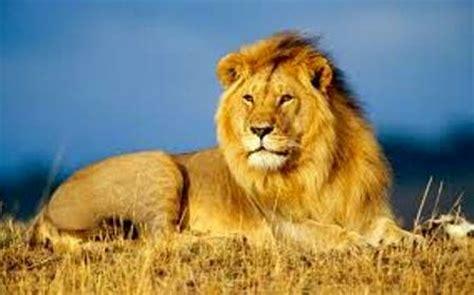sifat dan perilaku singa si raja rimba ragam dunia hewan