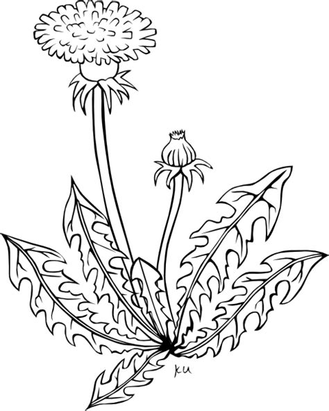 dandelion coloring page clip art at clker com vector
