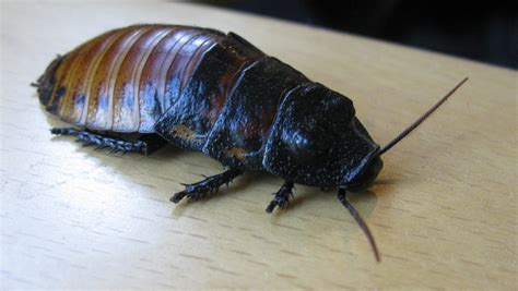 The madagascar hissing cockroach is one type of live bearing cockroach
