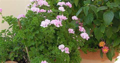 fiori sul terrazzo di passioni fiori sul terrazzo ad agosto