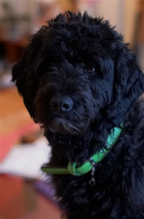 portuguese water dog information  pictures fallinpets