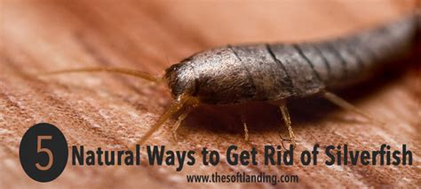 get rid of silverfish in bedroom get rid of silverfish in bedroom 28 images image