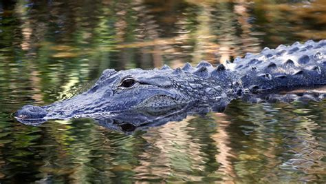 gator on the rise alligator attacks on the rise alligator attacks pictures cbs news