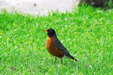 american robin wisconsin state bird american robin is