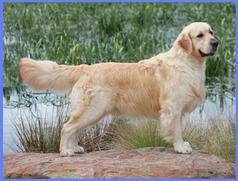 australian golden retriever australian golden retriever breeders