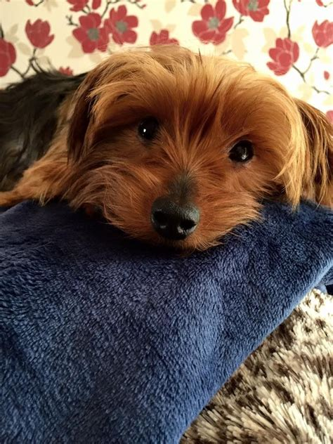 yorkie 2 years beautiful 2 year yorkie available towcester northtonshire pets4homes