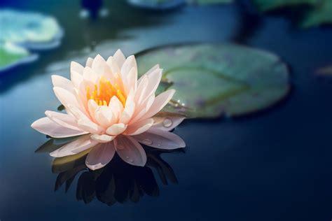 significato dei fiori di loto fiore di loto caratteristiche e significato nelle varie