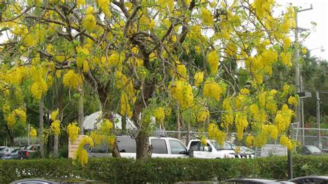 Shower Tree by Plantwerkz Golden Shower Tree Cassia Fistula