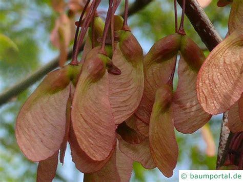 maple tree fruit maple acer rubrum