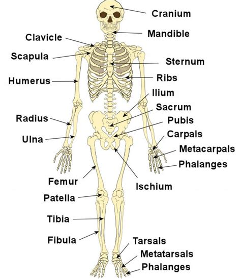 labeled bone diagram human skeleton bones labeled anatomy human