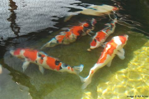 fish pond design 6 nice koi fish pond kits biological