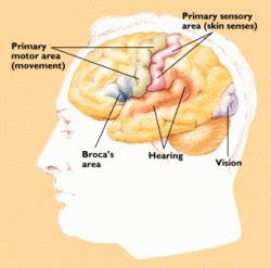 neurobiology: what's on your mind?? sensory/ motor strips