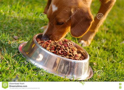 cute dog eating from bowl stock photo image 61440749 closeup mixed breed dog eating from metal bowl with fresh