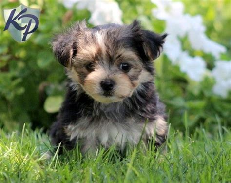morkie puppies for sale indiana 92 best images about adorable puppies for sale on morkie puppies for
