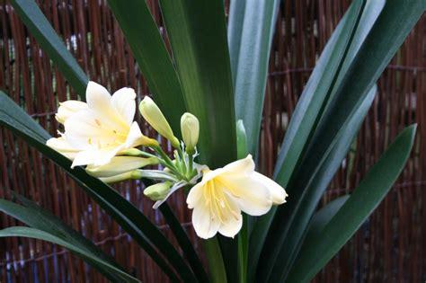 clivia miniata cream common  cliviakaffir lily
