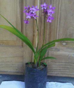 Jual Bibit Anggrek Cymbidium jual bibit anggrek botol phalaenopsis bulan 20 25 pcs