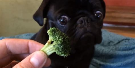 can pugs eat fruit adorable pug broccoli