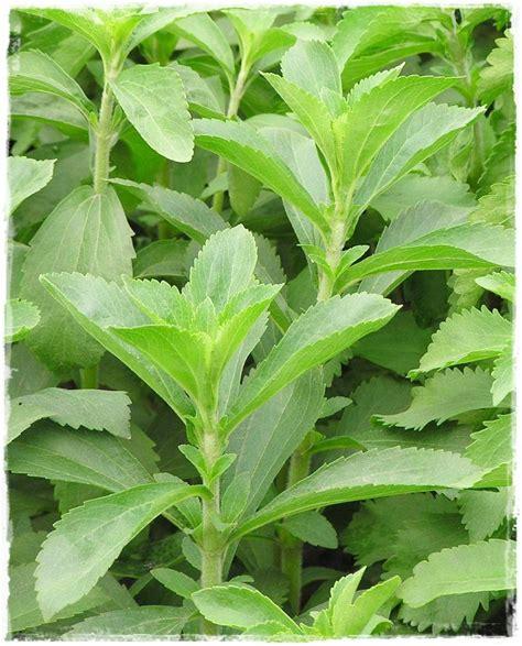 stevia coltivazione in vaso stevia rebaudiana vendita piante