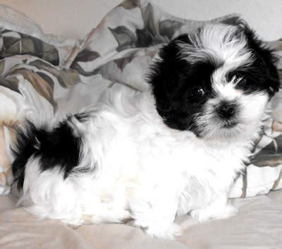 bichon shih tzu mix for sale in michigan shih tzu bichon mix puppies for sale in illinois