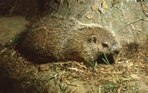 groundhog day yahoo 118 best images about my of groundhogs diggers on