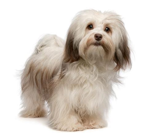 havanese grown havanese breed quotes