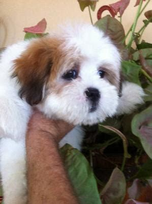 maltese shih tzu puppies for sale perth maltese x shih tzu pups for sale perth australia free classifieds muamat