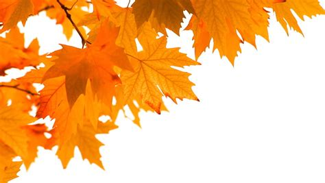 Leaf Fall Stock Footage Video Shutterstock Fall Leaves On White Background