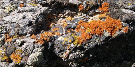 kenali beda   jenis jamur lendir acrasiomycota