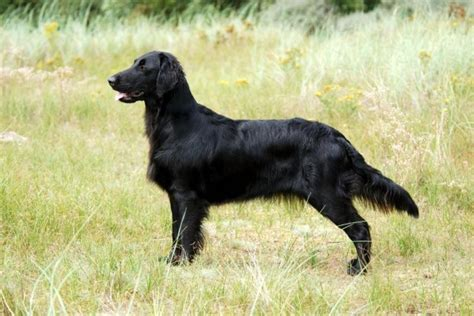 flatcoated retriever square flatcoated retriever