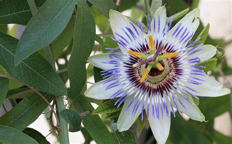 fiori passiflora significato della passiflora nel linguaggio dei fiori
