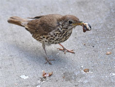 song thrush new zealand birds online