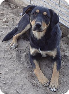 rottweiler shepherd mix adopted puppy goodland ks australian shepherd rottweiler mix